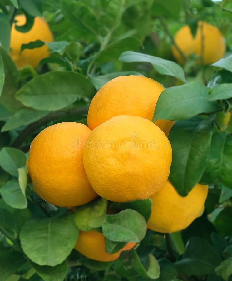Sinaasappelen die op een boomtak hangen in een stadstuin royalty-vrije stock foto
