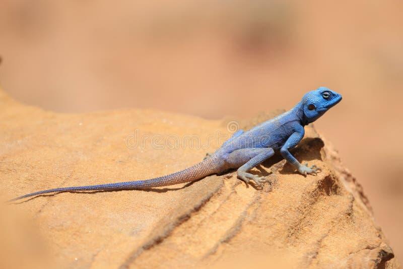 A Sinai Agama stock photo