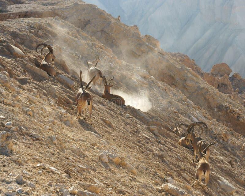 Sinaitica del nubiana del Capra del cabra montés de Nubian en Sde Boker Manada del cabra montés masculino viejo en montañas en dí fotografía de archivo libre de regalías