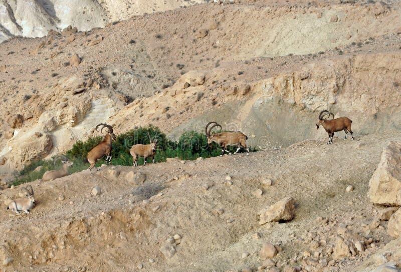 Sinaitica di nubiana della capra dello stambecco di Nubian in Sde Boker Maschi anziani combattenti Deserto di Negev di Israele de immagini stock