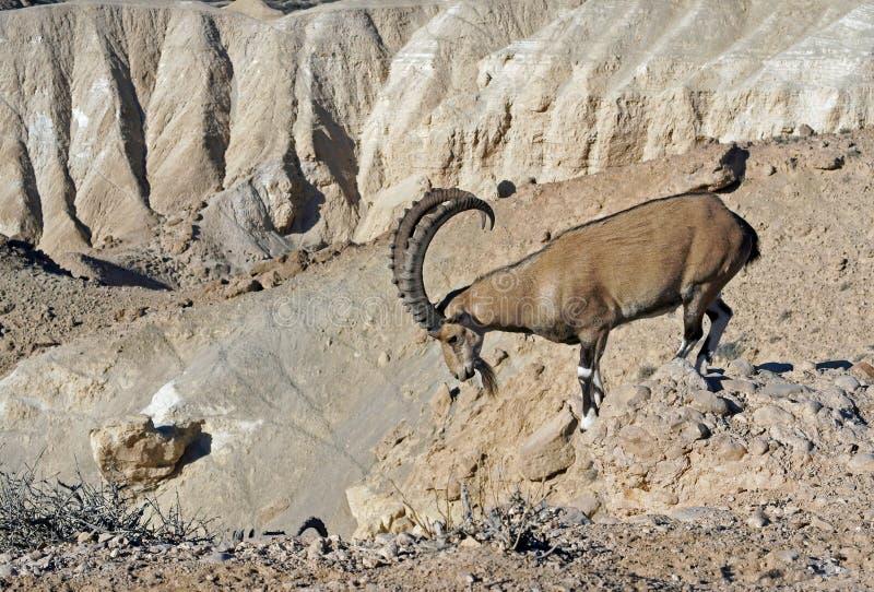 Sinaitica nubiana Capra ibex Nubian среди утесов в Sde Boker Ibex на утесе Пустыня Негев стоковые фото