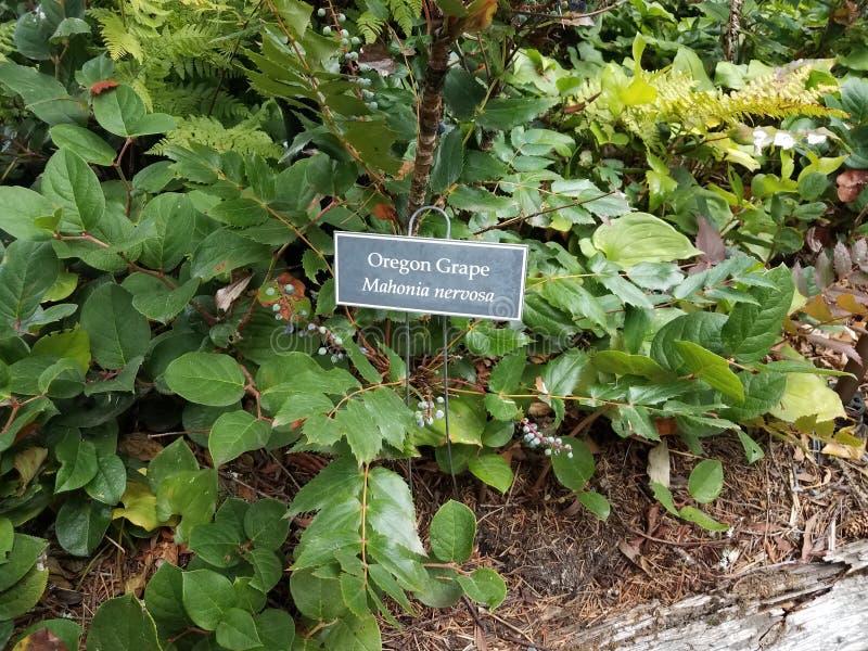 Sinal da uva de Oregon na planta com folhas verdes fotografia de stock royalty free