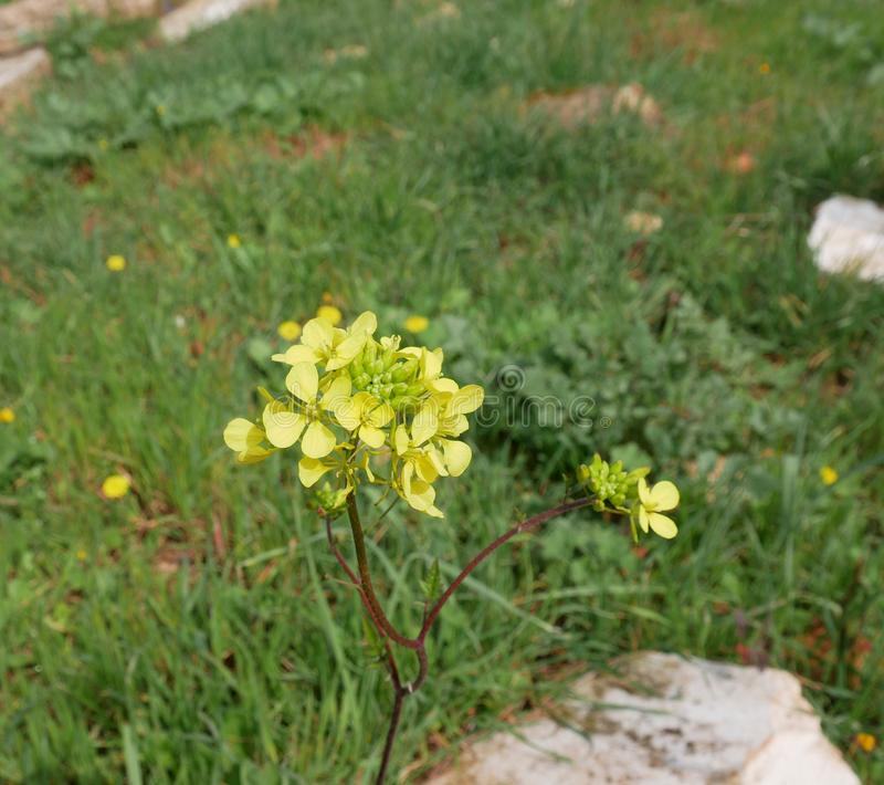 Sinapis arvensis. small yellow flowers of field mustard on the meadow in spring stock photo
