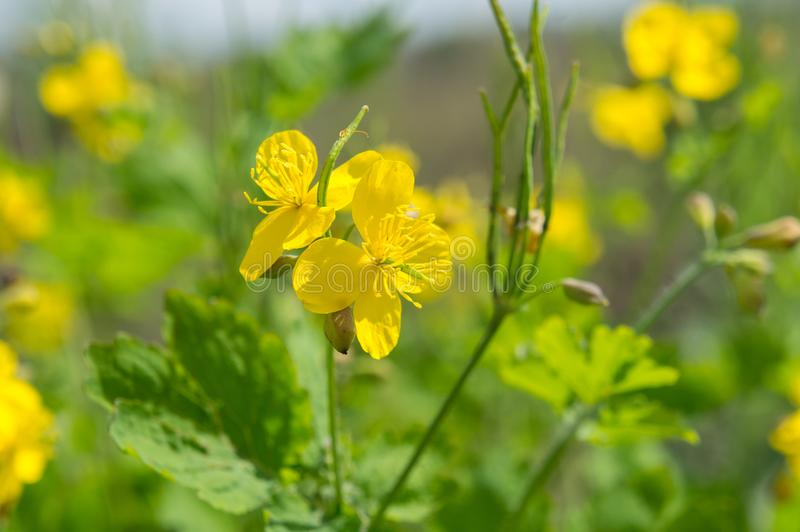 Sinapis mustard is a genus of plants in the family Brassicaceae. In the summer stock photography