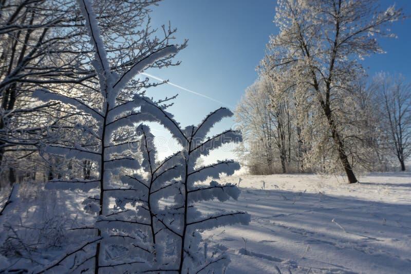 Sincelos da neve ou da geada que penduram dos ramos imagens de stock