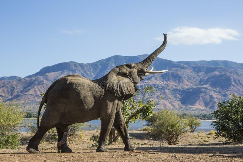 Sincronización de la montaña del elefante africano fotografía de archivo