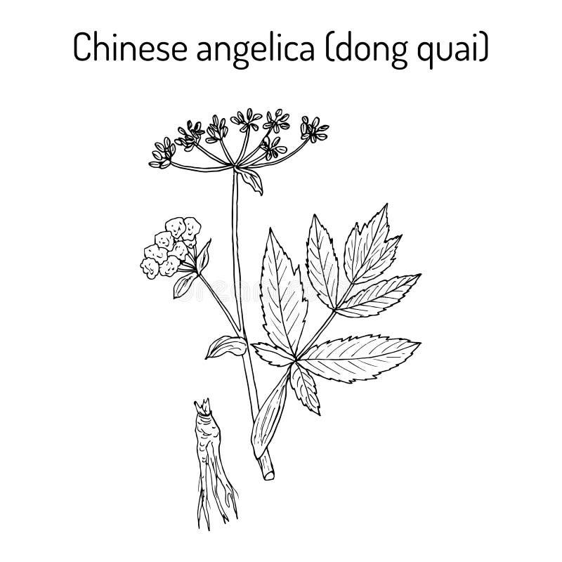 Sinensis της Angelica, ή quai ήχων καμπάνας, ή θηλυκό ginseng - ιατρικό χορτάρι ελεύθερη απεικόνιση δικαιώματος