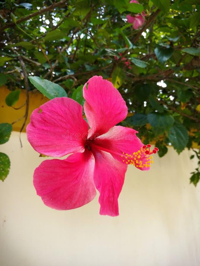 Sinensis del rosa dell'ibisco immagine stock libera da diritti