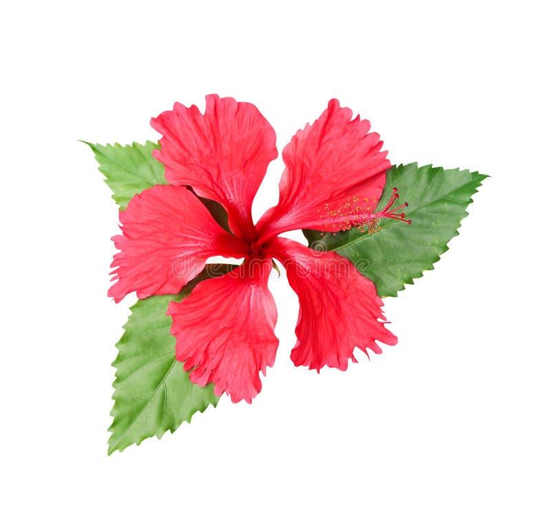Sinensis rouge doux de rosa de ketmie de fleurs colorées simples avec les feuilles vertes et la vue de stemtop d'isolement sur le photo libre de droits