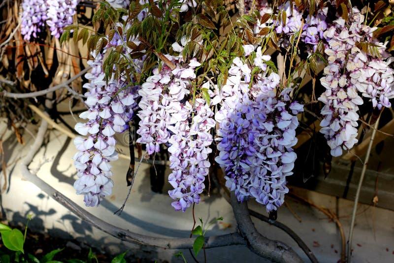 Sinensis Wisteria, κινεζικό wisteria στοκ φωτογραφία με δικαίωμα ελεύθερης χρήσης