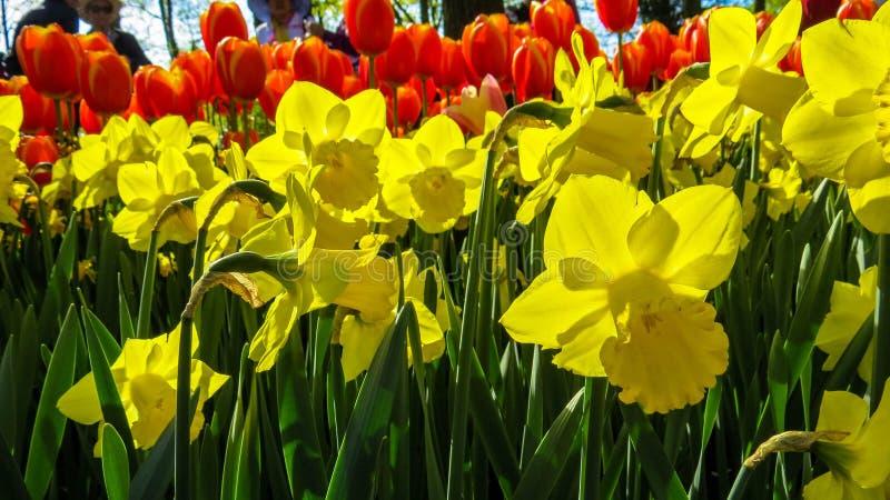 Sinfonía roja y amarilla de la flor imagen de archivo