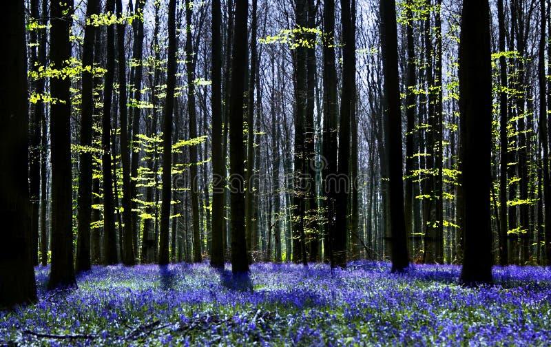 Sinfonia di Bluebell fotografie stock libere da diritti