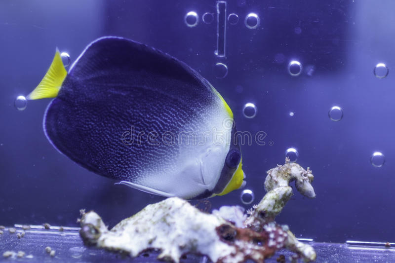Singapore Angelfish royalty free stock images