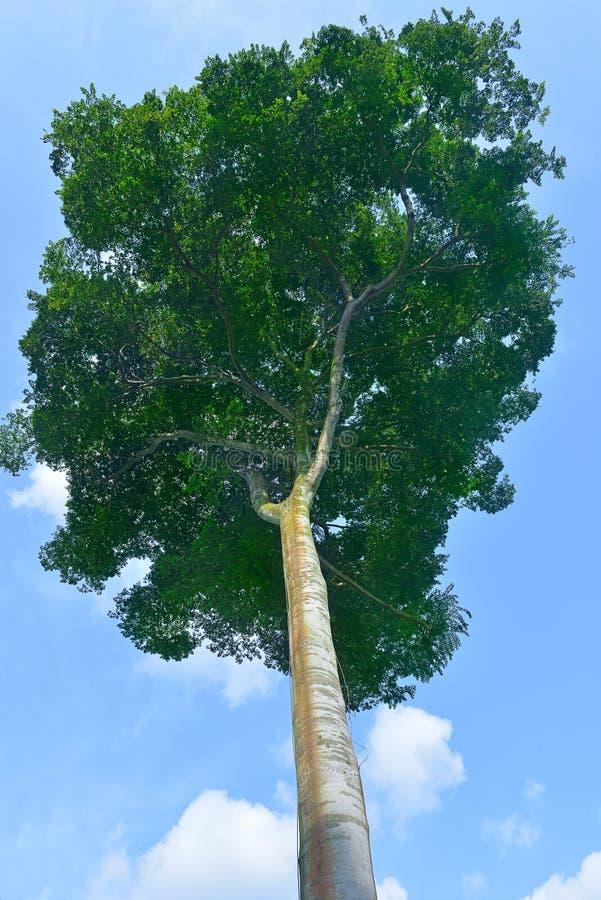 Singapore botanisk trädgårdserie royaltyfria foton