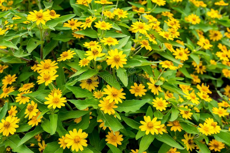 Singapore dailsy blomma i tr?dg?rden Gulna blommor fotografering för bildbyråer