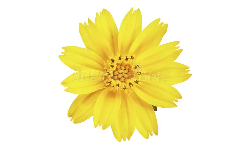 Singapore daisy flower, Yellow flower isolated on white background, with clipping path stock photo