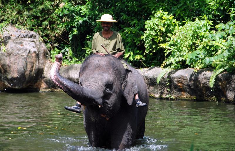 Singapore: Elephant Show at Zoo. Trainer sits atop an Asian elephant as it crosses a small pond during a performance of the the famed Singapore Zoo's Elephants stock photos