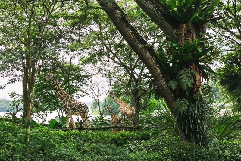 SINGAPORE - JAN 19, 2016: wild giraffes in natural habitat among trees stock image