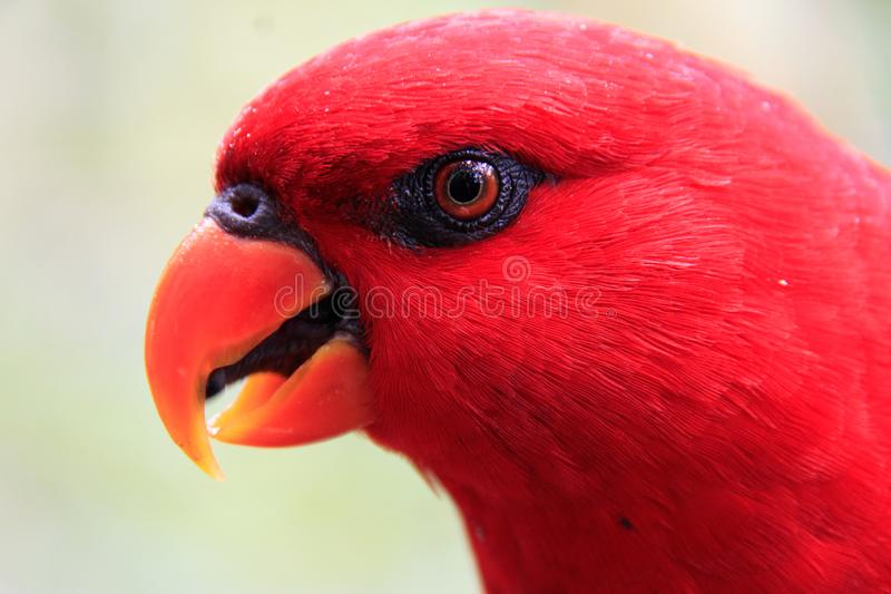 Singapore - JUNE 30, 2019: Red lory stock photography