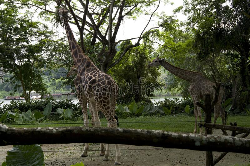 Giraffes relaxing in Singapore zoo stock photography
