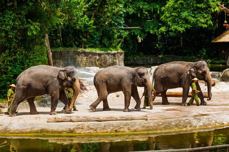 SINGAPUR - 14 DE ABRIL: Demostración del elefante en el parque zoológico de Singapur el 14 de abril imagen de archivo