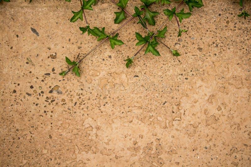 Singapur-Gänseblümchenblatt, das auf dem Zementboden klettert lizenzfreies stockbild