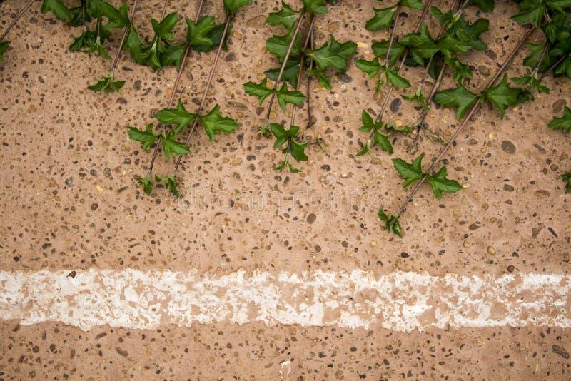 Singapur stokrotki liścia pięcie na cementowej podłoga obraz royalty free
