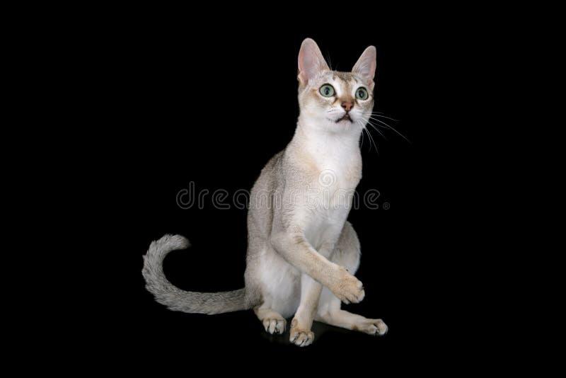 singapura кота стоковые фото