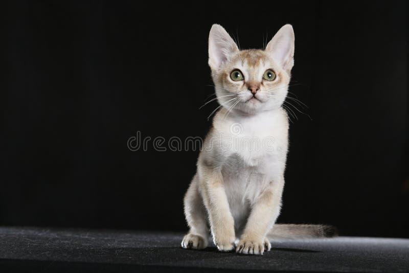 singapura котенка стоковое фото rf