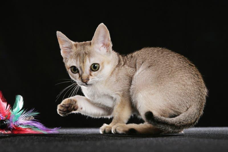Singapura Kätzchen stockfoto
