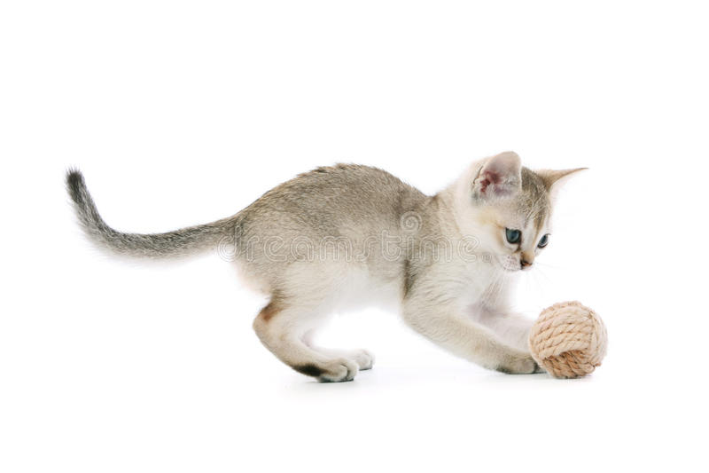 Singapura kitten with ball stock image