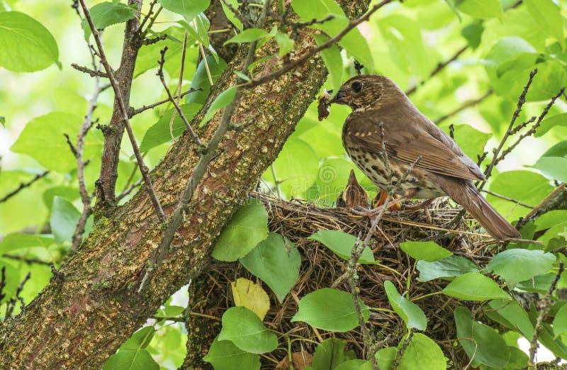 Singdrossel im Nest mit K?ken lizenzfreie stockfotografie