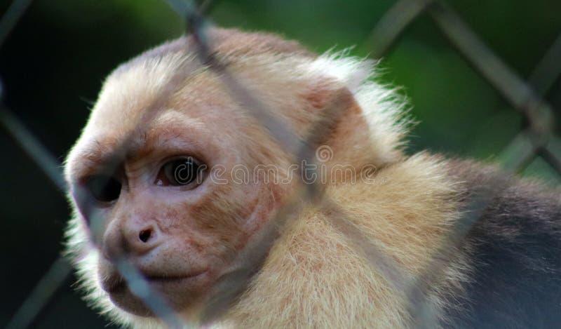 Singe à tête blanche de capucin dans la cage en Costa Rica photos stock