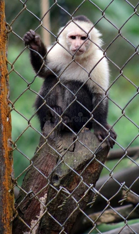 Singe à tête blanche de capucin dans la cage en Costa Rica photographie stock libre de droits