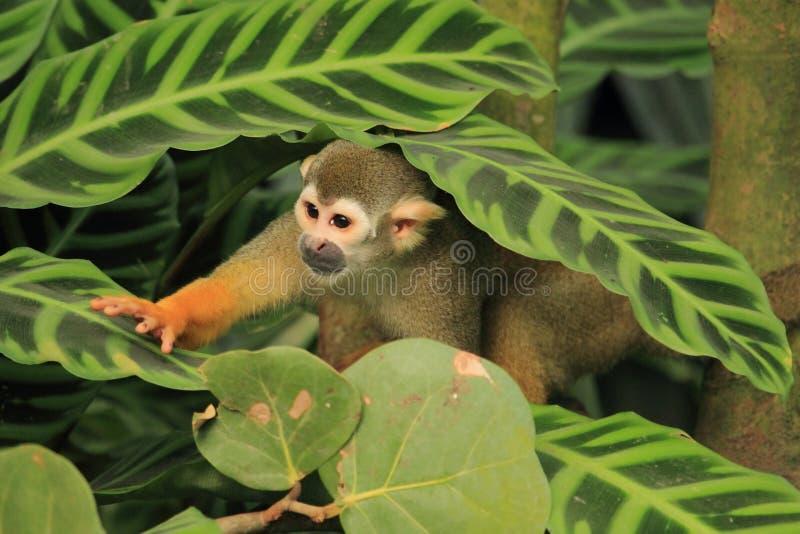 Singe-écureuil image stock