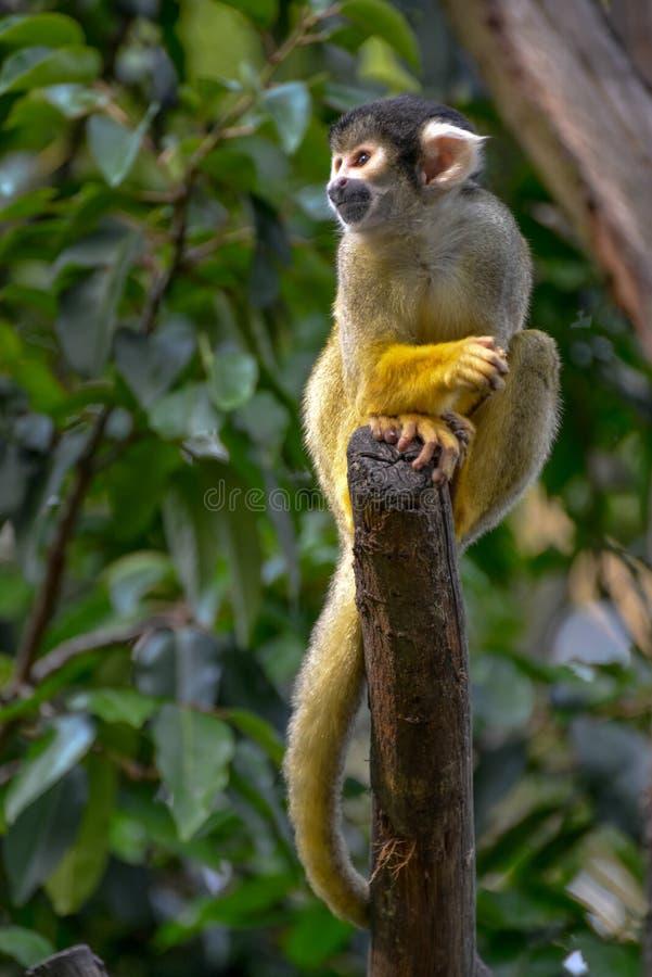Singe-écureuil commun (sciureus de Saimiri) image libre de droits