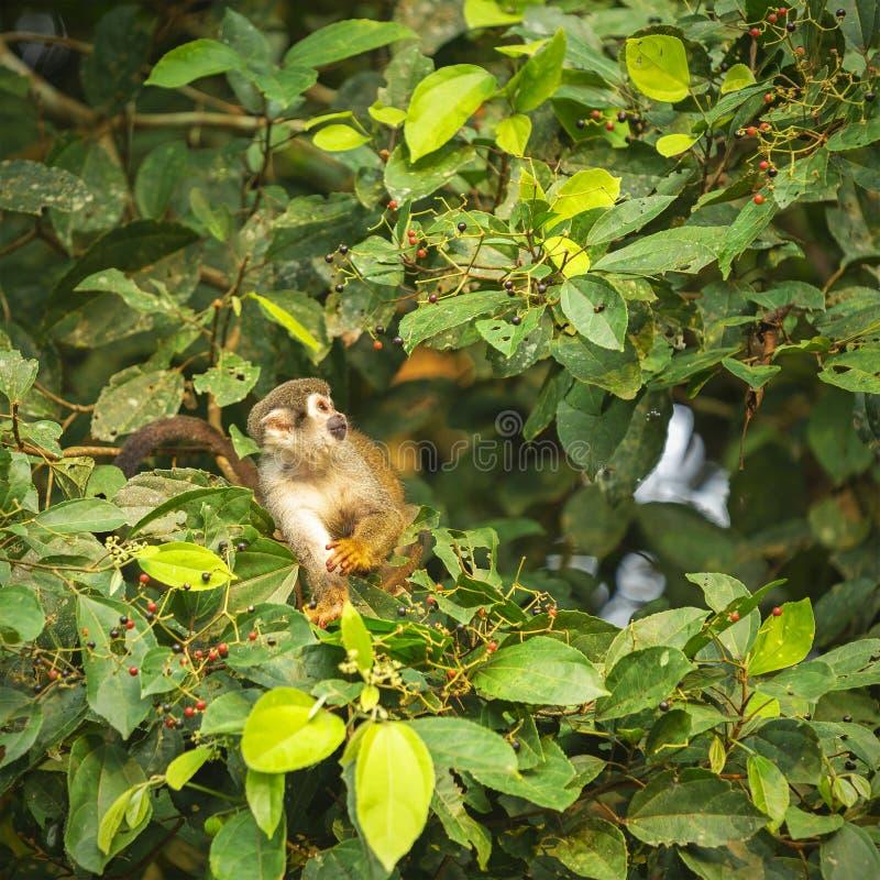Singe-écureuil dans la forêt tropicale d'Amazone, Equateur photo libre de droits