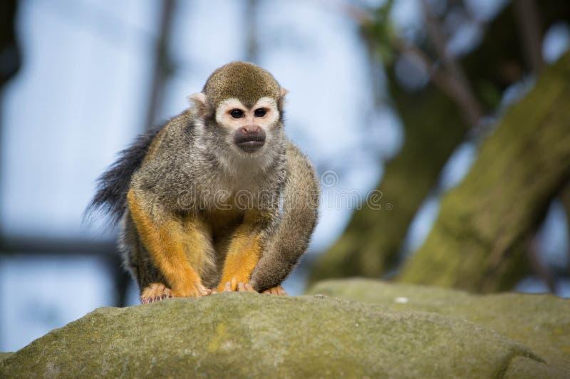 Singe-écureuil dans un zoo de Lancashire photo stock