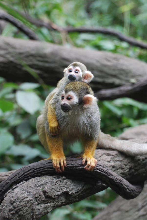 Singe-écureuil de bébé là-dessus dos du ` s de maman du ` s images stock