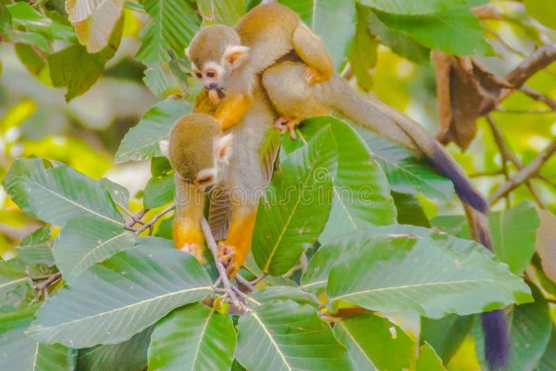 Singe-écureuil, ou Saimiri Sciurea au zoo public photographie stock libre de droits