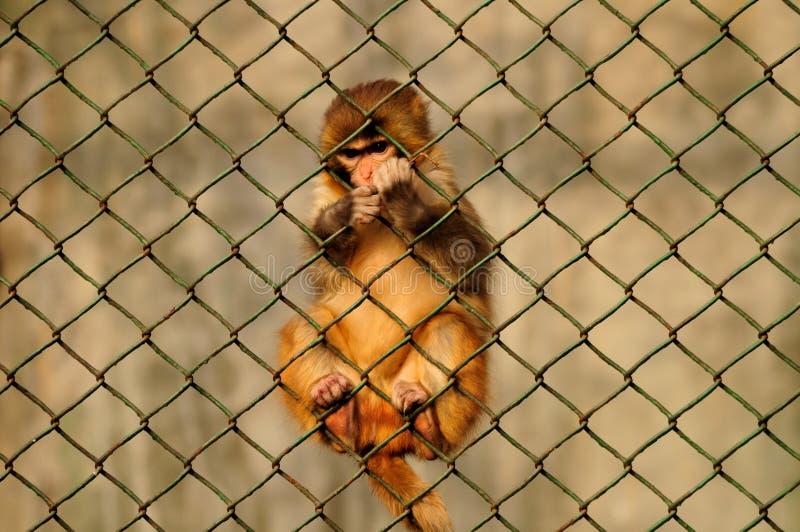 Singe-écureuil s'élevant images libres de droits