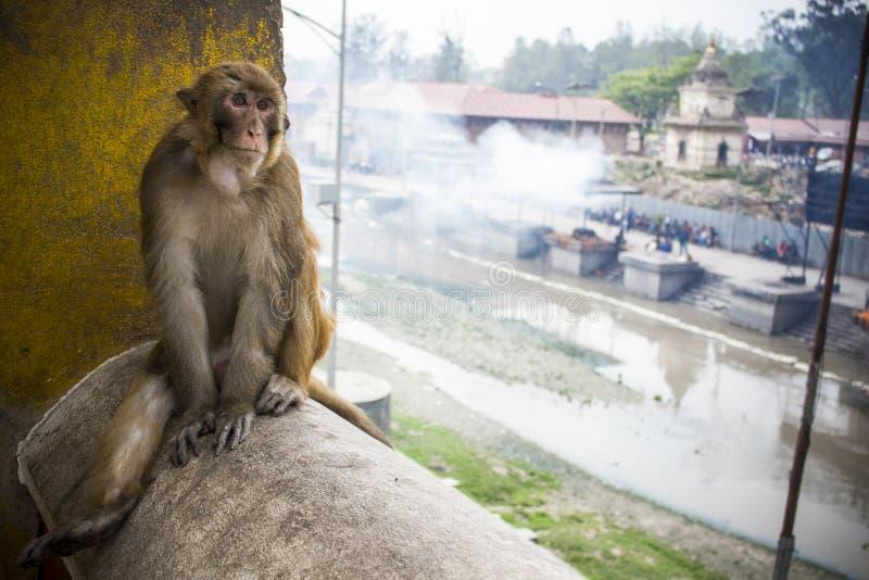 Singe au temple Pashupatinath, Katmandou, Népal photographie stock libre de droits