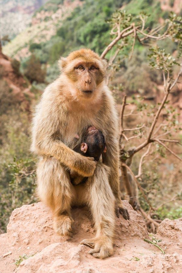 Singe avec le bébé à la cascade chez Ouzoud photos libres de droits