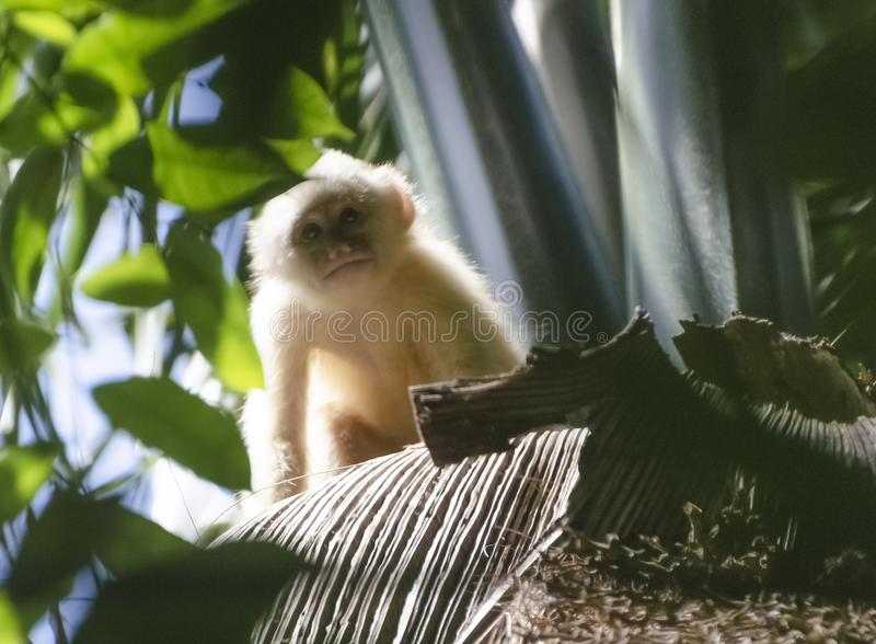 Singe Blanc-affronté juvénile de capucin photo stock