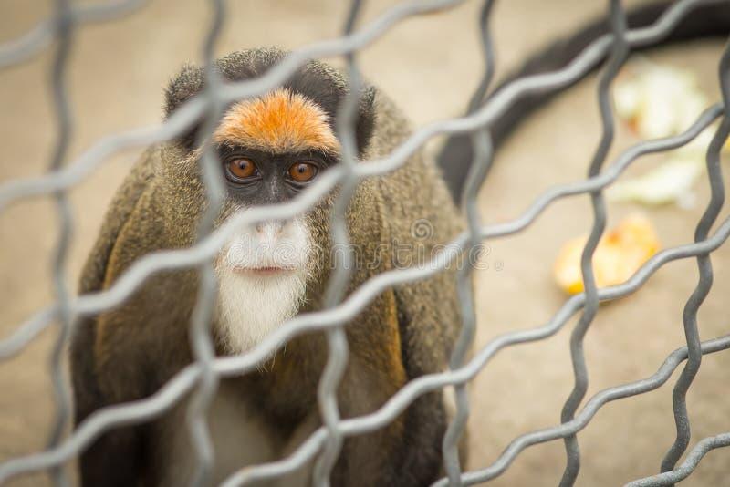 Singe Brazza dans une cage image libre de droits