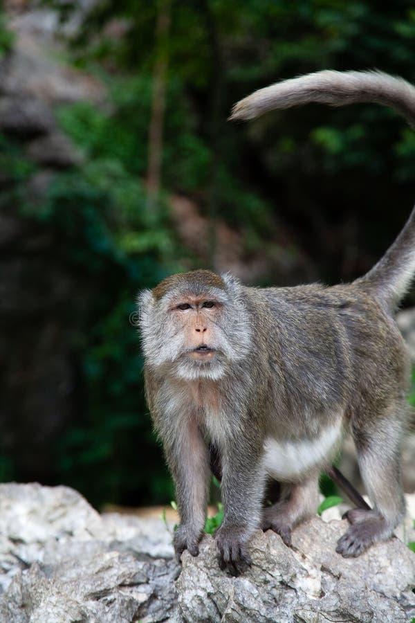 Singe chez l'animal de Krabi Thaïlande image stock