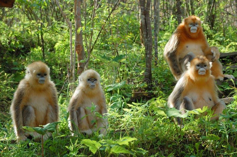 singe d'or photographie stock libre de droits