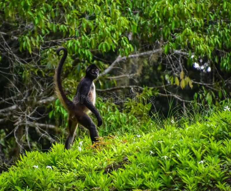 Singe d'araignée au parc national de Tikal, Guatemala images stock