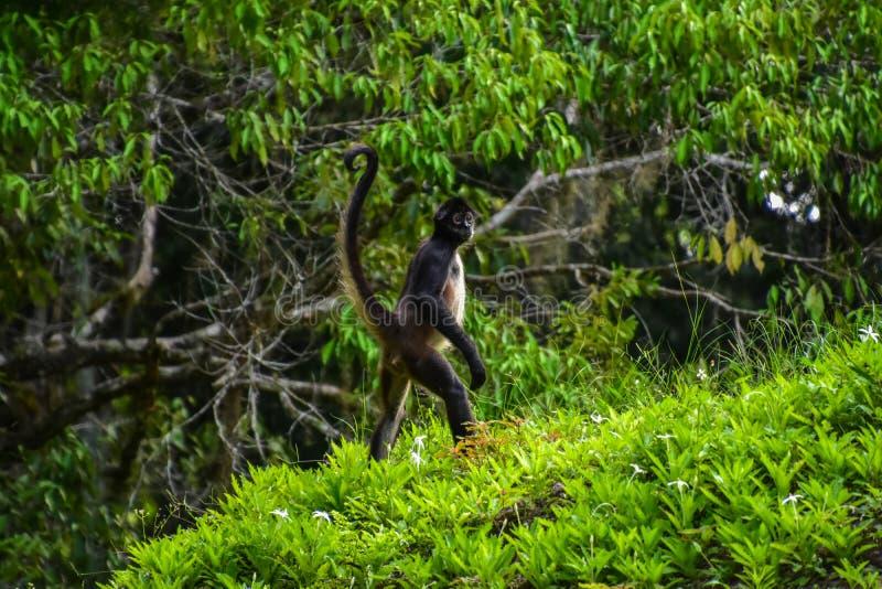 Singe d'araignée au parc national de Tikal, Guatemala photo stock