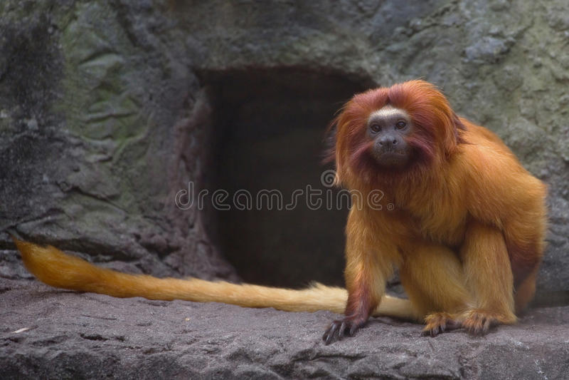 Singe d'or de Tamarin de lion photographie stock libre de droits